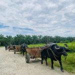 Buffaloes with pulling carts in large-scale palm oil crop.