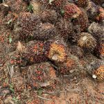 Palm oil fresh fruit bunches ready for being loaded to the truck that takes them to the mill