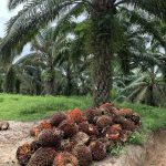 Palm oil fresh fruit bunches in palm oil crop