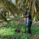Small-scale palm oil growers next to previously collected palm oil fruit bunch
