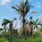 Palm oil crop damaged by pests.